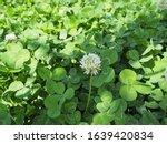 Trifolium Repens Or  White...