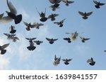 Flock Of Pigeons Flying In...