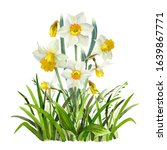 Watercolor Narcissus Flowers On ...