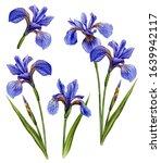 Watercolor Illustration Of Iris ...