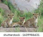 Three Amigos   Lions Cubs...