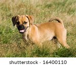 This is a Puggle Puppy Stands in the Grass looking for a playmate - stock photo