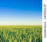 Green Barley Field In Early...