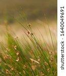 Wild Tall Grass In Rural...