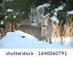 Roe Deer Capreolus Capreolus ...