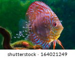 Baby Discus Fish Swimming In...