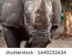 Big Black Rhino In Nature Close ...