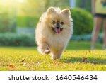 Cute Puppies Pomeranian Mixed...