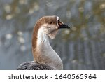 The Chinese Goose Is A...
