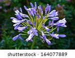 Agapanthus Flower  Lilies Of...