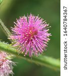 Catclaw Sensitive Briar Flower  ...