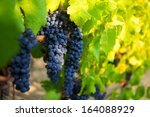 ripe grape waiting for harvest | Shutterstock . vector #164088929