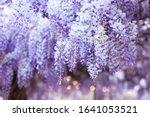 Spring Flowers Wisteria....