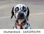 Wide eyed dalmation dog face...