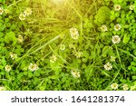 Meadow With White Clover...