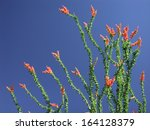 Closeup Of Blooming Ocotillo...