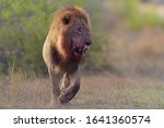 Lion With A Bloody Mane In The...