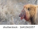 Lion With A Bloody Mane  Africa