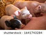 Cute Piglets Drinking From...