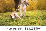 Stock photo senior woman walking her beagle dog in countryside 164195594