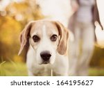 Stock photo senior woman walking her beagle dog in countryside 164195627