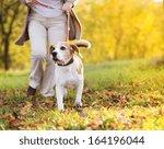 Stock photo senior woman walking her beagle dog in countryside 164196044