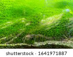 Small photo of Dirty glass of aquarium. Algae growing on the surface of fish tank. Abstract view of green slimy organism background