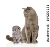 Stock photo british shorthair cat and kitten isolated on white background 164203151