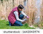 Woman Cutting Ornamental Grass...