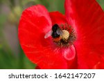 Bumblebee Sits On Red Poppy...
