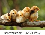 group of babies chickens on... | Shutterstock . vector #164214989
