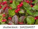 Fresh Wintergreen Red Berry...