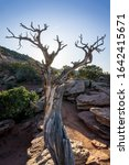 Red Rock Canyon Desert Tree...