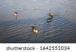 Four Geese Swimming On The...