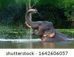 A male asian elephant is...