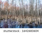 forest marshland with dry grass and dead fallen trees, blue water is covered with thin transparent ice, wildlife in early spring after sunset, nature background