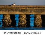 Seagull  Larus Argentatus ...