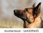 Head Of The German Shepherd Dog