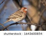 House Finch Perched In A Tree...