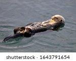 Sea Otter  Enhydra Lutris  In...