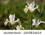 Among Iris Hollandica Flowers...