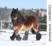 Gorgeous Dutch Draught Horse...