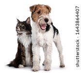 Adult Maine Coon cat and Fox Terrier dog sitting / standing beside each other. Both looking side ways to opposite sides. Isolated on white background.