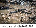 Mudskipper Fish In The...