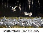 Snow Geese Flying In To Land In ...