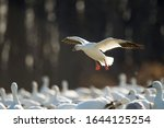 A Single Snow Goose Flies In To ...
