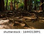 Kinone Michi  Exposed Tree Root ...