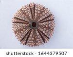 Sea Urchin In White Background