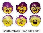 Bundle Of Purple Pansy Flowers...