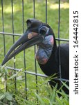 Small photo of A Female Abyssinian Ground Hornbill or Northern Ground Hornbill